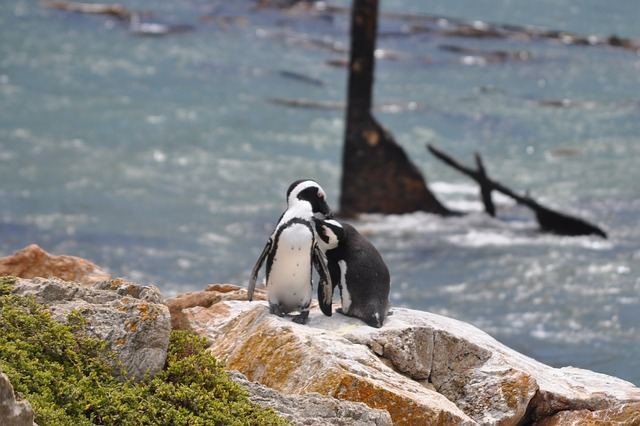 South Africa, Penguin, Sea, Pair, Kiss