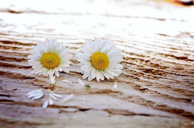 Daisy, Flowers, Wildflowers, Wood, Pair, Close