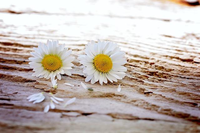 Daisy, Flowers, Wildflowers, Wood, Pair, Close