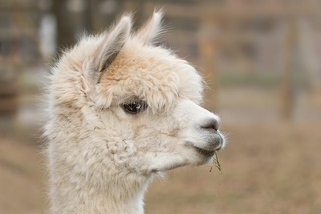 Alpaca, Pako, Mammal, Wool, Vicugna Pacos, Alpaca Wool