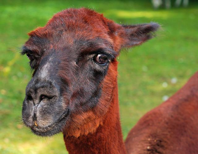 Alpaca, Pako, Red Brown, Mammal, Vicugna Pacos, Wool