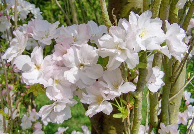 Díszcseresznye, Spring Bloom, Pale Pink
