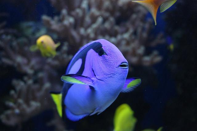 Pallet Doctor Fish, Surgeonfish, Underwater