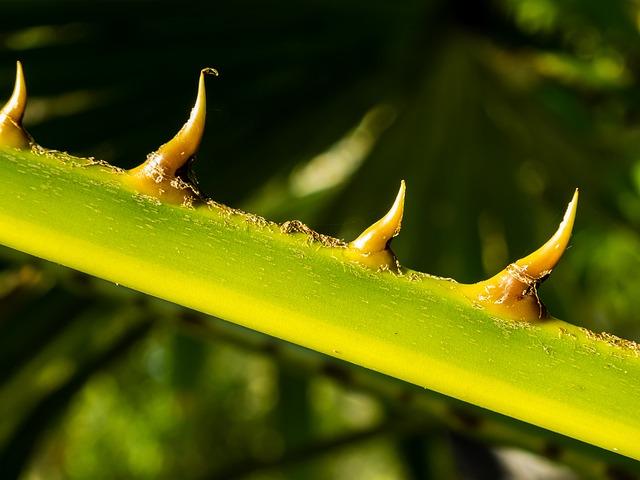 Palm Branch, Thorns, Spur