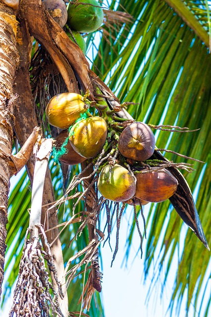 Coconuts, Palm, Palm Fronds, Coconut Tree, Exotic