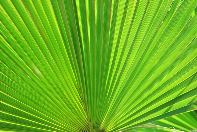Fan Palm, Palm, Fan, Leaf, Green, Spread, Radiating
