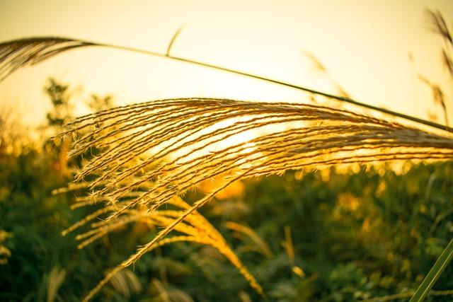 Pampas Grass, Rushes, Sunset