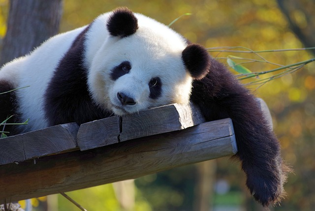 Panda, China, Bamboo, Zoo, Bear, Endangered