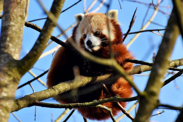 Panda, Brown Panda, Red Panda, Panda Bear, Mammal