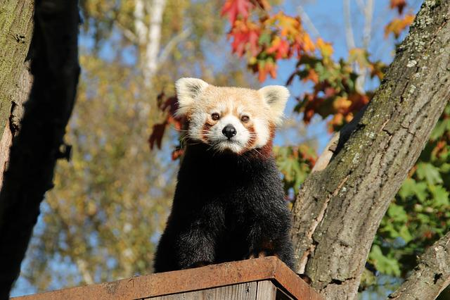 Red Panda, Panda, Panda Bear, Cute, Mammal, Zoo