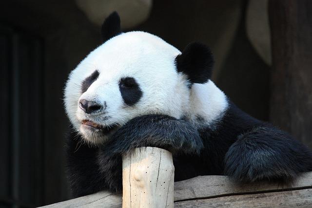 Mammal, Wildlife, Animal, Zoo, Panda, Cute, Nature
