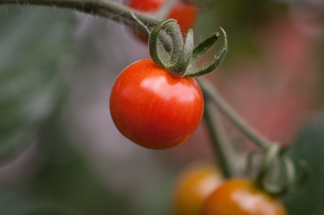 Tomato, Panicle Tomato, Red, Reifeporzess, Food