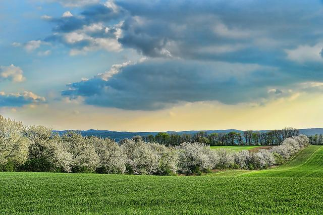 Nature, Panorama, Cherry Trees, Flowering Cherry Trees
