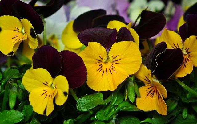 Pansies, Flowers, Colorful, Nature, Flourishing, Spring
