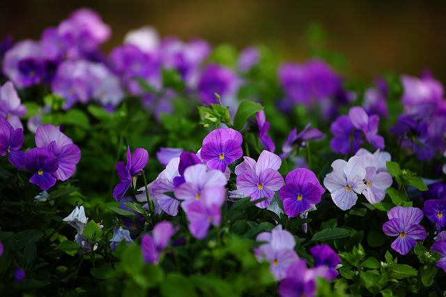 Flowers, Pansies, Izhevsk, Park, Nature, In The Park