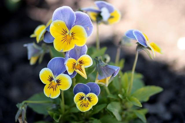 Pansies, Yellow, Blue, Flowers, Nature