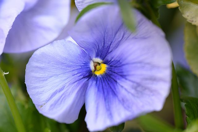 Pansy, Blossom, Bloom, Purple, Close, Spring