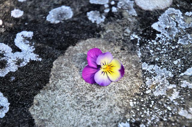 Rock, Model, Mosses, Stone Wall, Pansy, One