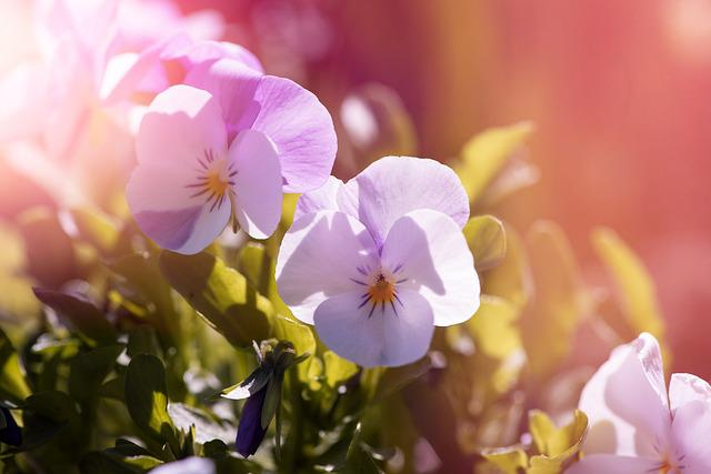 Violet, Pansy, Garden Pansy, Plant, Flower Plants