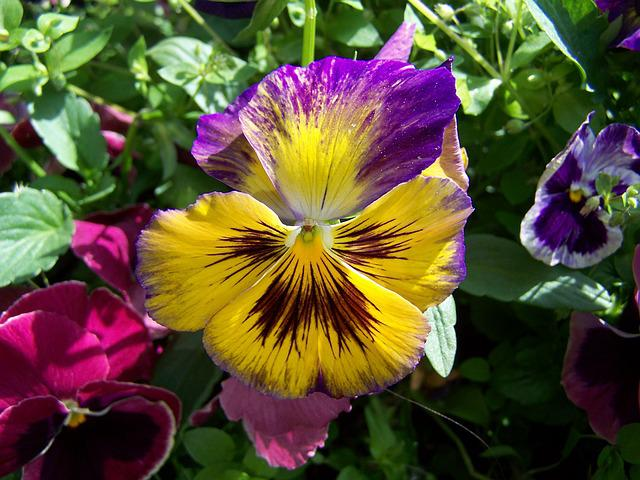 Pansy, Purple And Yellow Flowers, Garden