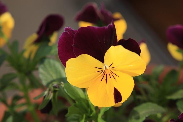 Pansy, Spring, Spring Flower, Close, Macro, Blossom