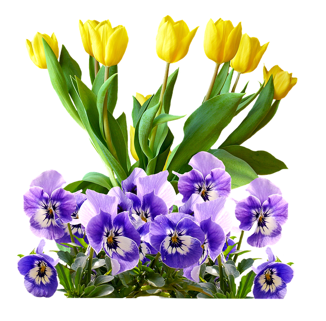 Tulips, Pansy, Isolated, Flowers, Spring, Violaceae