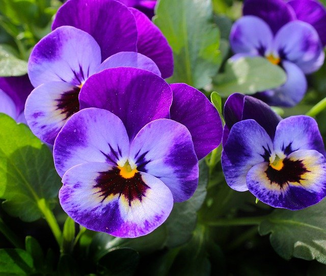 Pansy, Flowers, Plant, Nature, Spring, Violet, Blossom