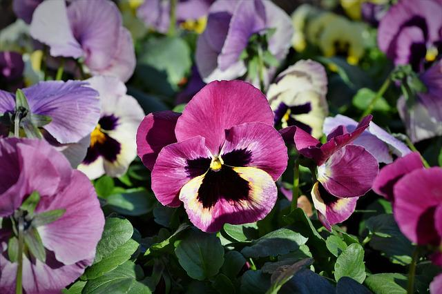 Pansy, Blossom, Bloom, Purple, Violet, Flower