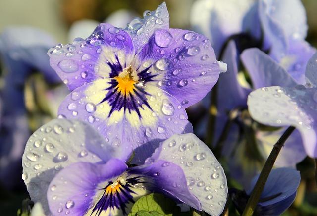 Pansy, Viola, Violet, Violet Plant, Flower Plants