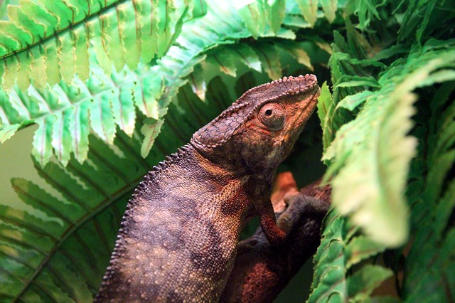 Panterovy Chameleon, Pardalis, Furcifer Pardalis