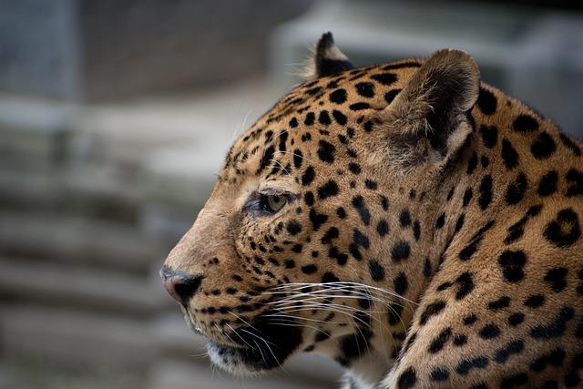 Pairi Daiza, Panther, Cougar, Leopard