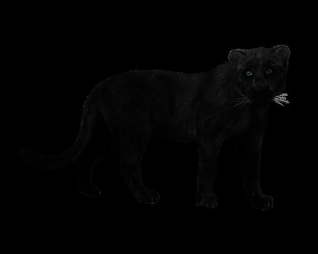 Panther, Black Big Cat, Mystical, Predator, Muscular