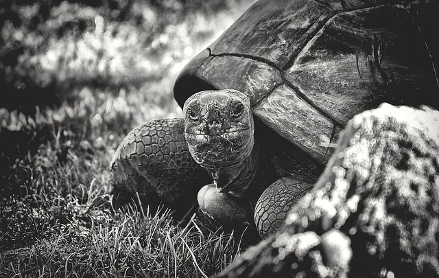 Giant Tortoise, Animal, Panzer, Reptile, Turtle