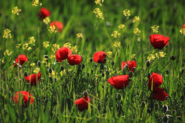 Papaver Rhoeas, Red, Grass, Nature, Flower