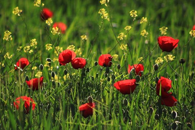 Papaver Rhoeas, Red, Grass, Nature, Flower