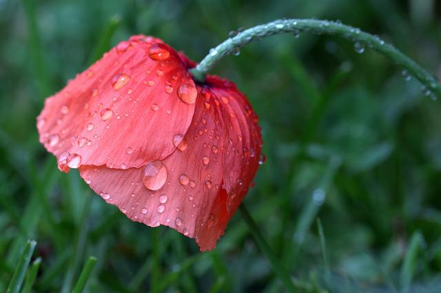 Poppy, Papaver Rhoeas, Klatschmohn, Poppy Flower, Wet