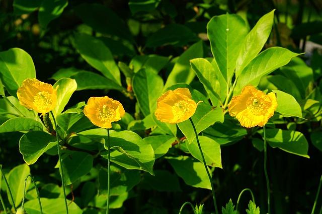 Papaveraceae Poppy Genus, Poppy, Klatschmohn, Flowering