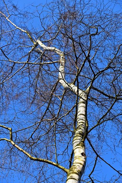 Birch, White Birch, Paper Birch, Trunk, Branch, Slender
