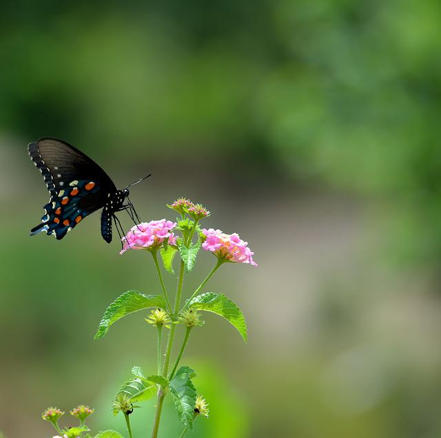 Black Swallowtail Butterfly, Insect, Butterfly, Papilio