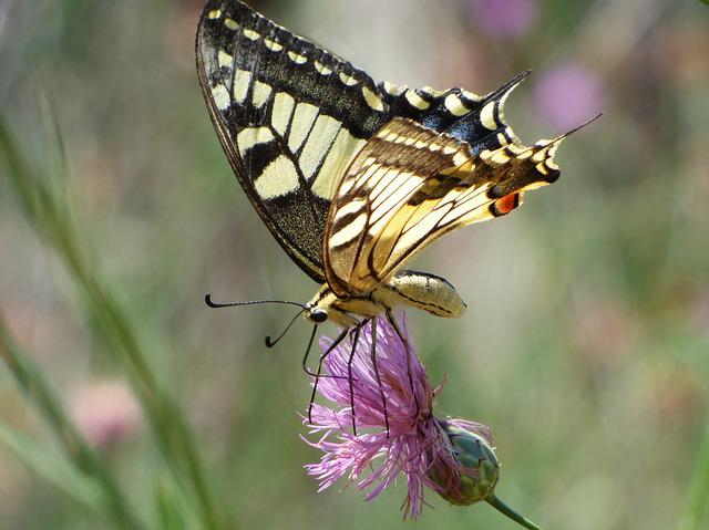 Machaon, Papilio Machaon, Butterfly Queen, Libar