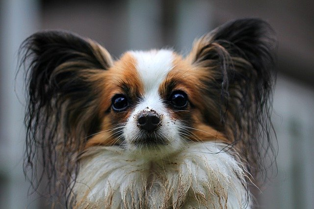 Papillon, Dog, Animal