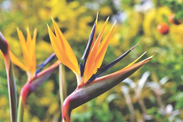 Strelizie, Parrot Flower, Paradise Flower, Exotic