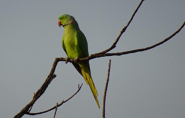 Bird, Parakeet, Green, Tropical, Parrot