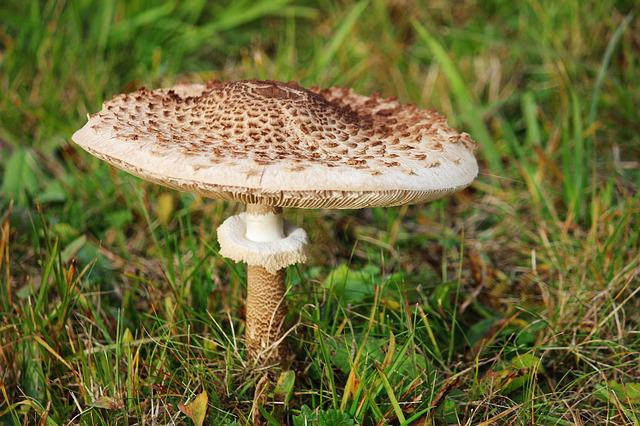 Boletes, Mushroom, Parasol, Autumn, Forest, Nature