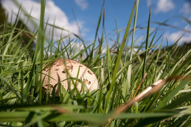 Mushroom, Autumn, Parasol, Schirmling, Meadow, Edible