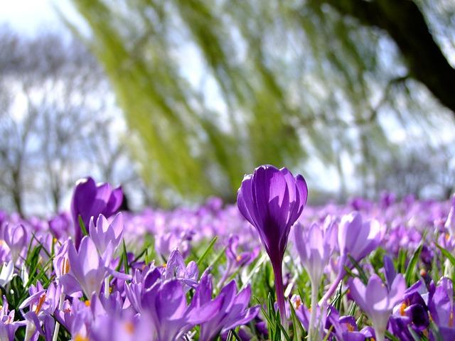 Flowers, Crocus, Spring, Park, Düsseldorf