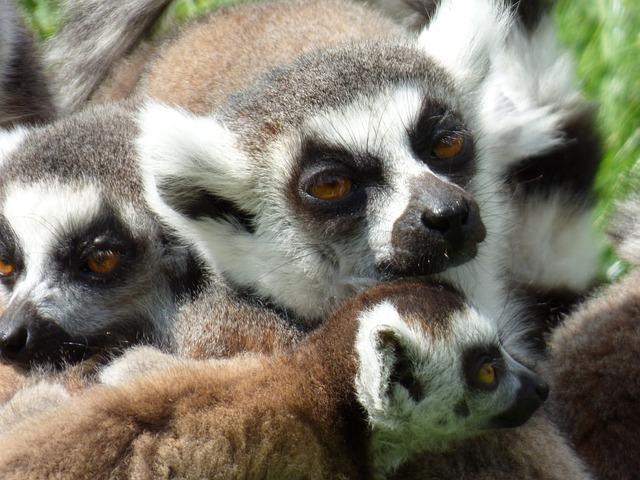 Lemurs, Maki Catta, Park Felines, Nesles