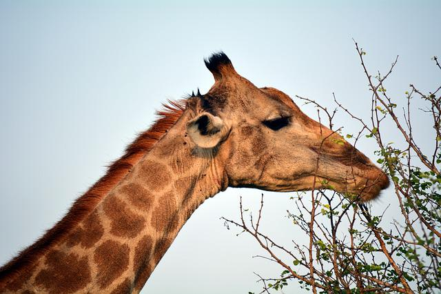 Kruger, Park, Africa, Nature, Giraffe, Eatting