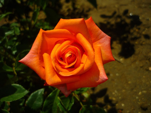 Rosa, Flower, Park, Orange, Earth, Leaves, Plant