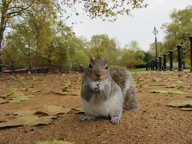 Grey Squirrel, Park, London, United Kingdom, Leaves